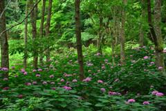 ボタンクサギの森