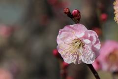 梅は咲いたか~桜は?