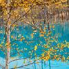 白樺 ー青い池にてー
