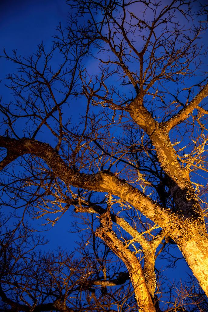 薄明の木々