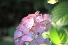 紫陽花の咲くころ