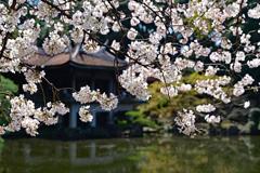 旧御淳亭と桜