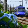 世田谷線とアジサイ 1