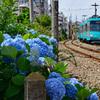 世田谷線とアジサイ 4
