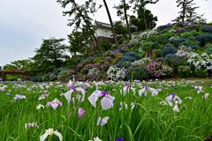 菖蒲と紫陽花と小田原城と