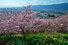 町も桜色に