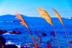 風になびくススキの穂 (萩市越ヶ浜)