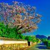 城下町と染井吉野 (山口県萩市 )