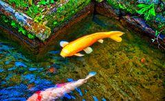掘割水路の鯉(津和野町 殿町通り)
