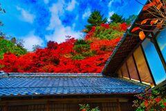 最盛期の秋色 紅紅葉 (津和野 旧堀氏庭園)