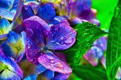 雨で生き生きと 紫陽花 (山口県萩市)
