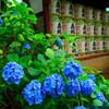 紫陽花と奉納された酒樽 (文京あじさいまつり 白山神社)