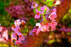 指月公園を彩るソメイヨシノ (萩城跡)