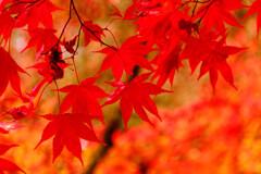 紅く燃ゆるモミジ (津和野 旧堀氏庭園)