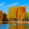 メタセコイアの紅葉 (さいたま市 別所沼公園)