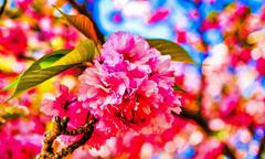 八重桜①(萩城跡)