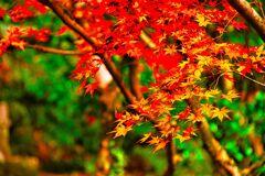 紅と黄のグラデーション (津和野 旧堀氏庭園)