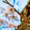 桜 ソメイヨシノ (山口県萩市 萩城跡 )
