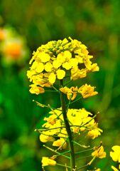 菜の花(むつみフラワーロード)