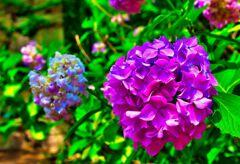石垣の周りを彩る 紫陽花② (萩市 萩城)