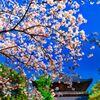 桜満開の東光寺 (山口県萩市 )