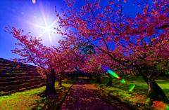 春陽に照らされるソメイヨシノ(萩城跡)