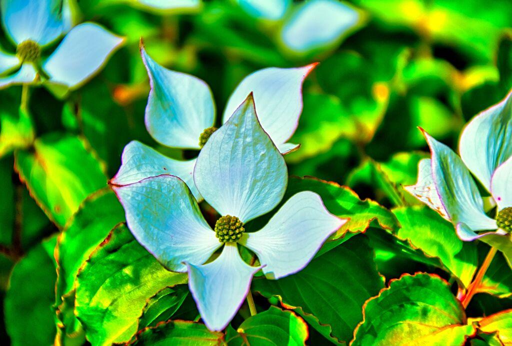 ヤマボウシの花(萩市 かんきつ公園)