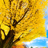 カナールの銀杏並木と人出② 昭和記念公園にて