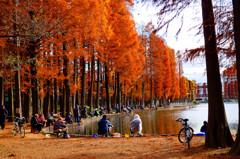 メタセコイアの紅葉の下での釣り人達 (さいたま市 別所沼公園)
