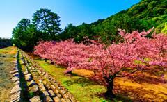 お堀の石垣より俯瞰 ソメイヨシノ(萩城跡)