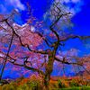 南明寺の糸桜 (萩市)