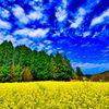 菜の花畑と巻積雲(萩市)