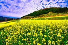 壮大な菜の花畑(むつみフラワーロード)