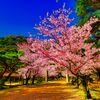 満開のソメイヨシノ 指月公園(萩城跡)