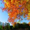 メタセコイアの紅葉② (さいたま市 別所沼公園)