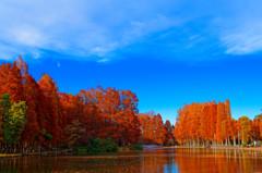 色付きもピーク メタセコイアの紅葉 (さいたま市 別所沼公園)