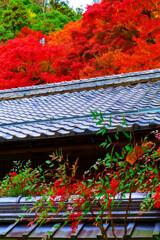 南天の実とモミジの真っ赤なコラボ (津和野 旧堀氏庭園)