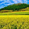 約500万本の菜の花畑(萩市)