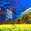 紅梅と菜の花畑 (浜離宮恩賜庭園)