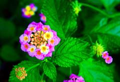小さな紫陽花のような ランタナ (山口県萩市)