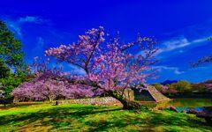 天守閣跡前のソメイヨシノ (萩城跡)