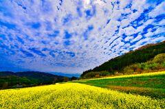 菜の花畑の上に巻積雲(萩市)
