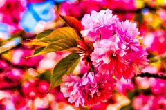 八重桜③(萩城跡)