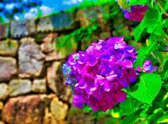 石垣の周りを彩る 紫陽花① (萩市 萩城)
