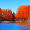 色付きもピーク メタセコイアの紅葉② (さいたま市 別所沼公園)