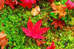 緑の苔の上に紅い落モミジ (津和野 旧堀氏庭園)
