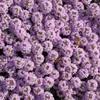 ミツバチとアリッサム(紫)