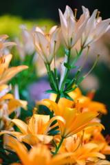 季節の花便り百合