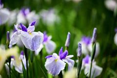 花咲く菖蒲園