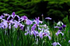 梅雨を迎える花菖蒲園